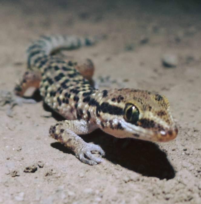 gecko de lima